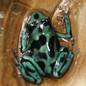 D. auratus 'Green and White' SNDF 2009